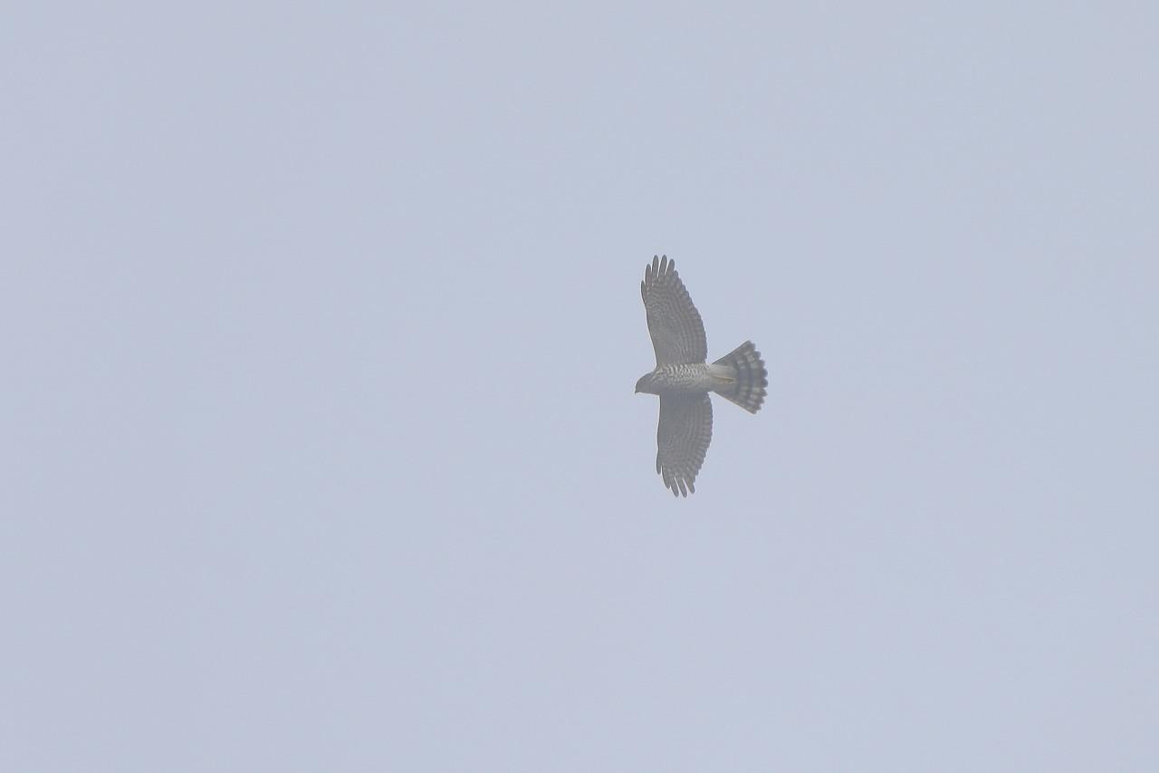鷹の渡り_f0296999_17350981.jpg