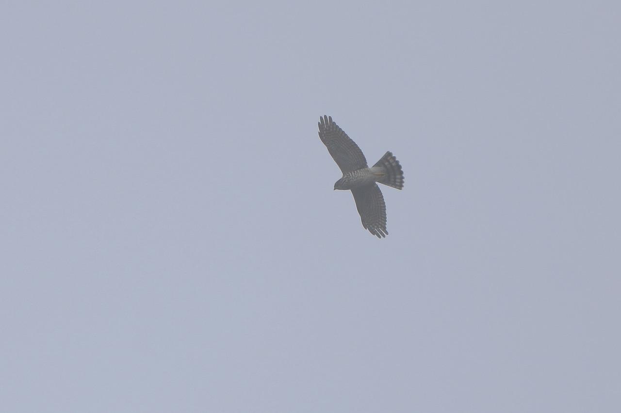 鷹の渡り_f0296999_17351435.jpg