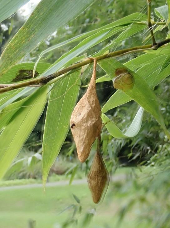 竹の葉の裏に「ハムシ?」の様な物が…_b0025008_15114370.jpg
