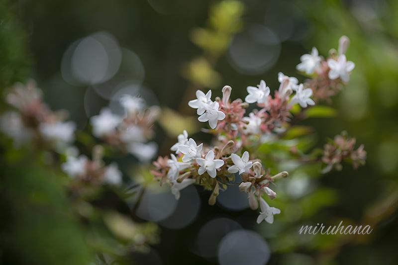 この花なぁんだ?_c0037519_18014397.jpg