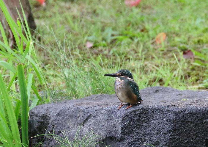 カワセミの幼鳥さん_c0113597_13565866.jpg
