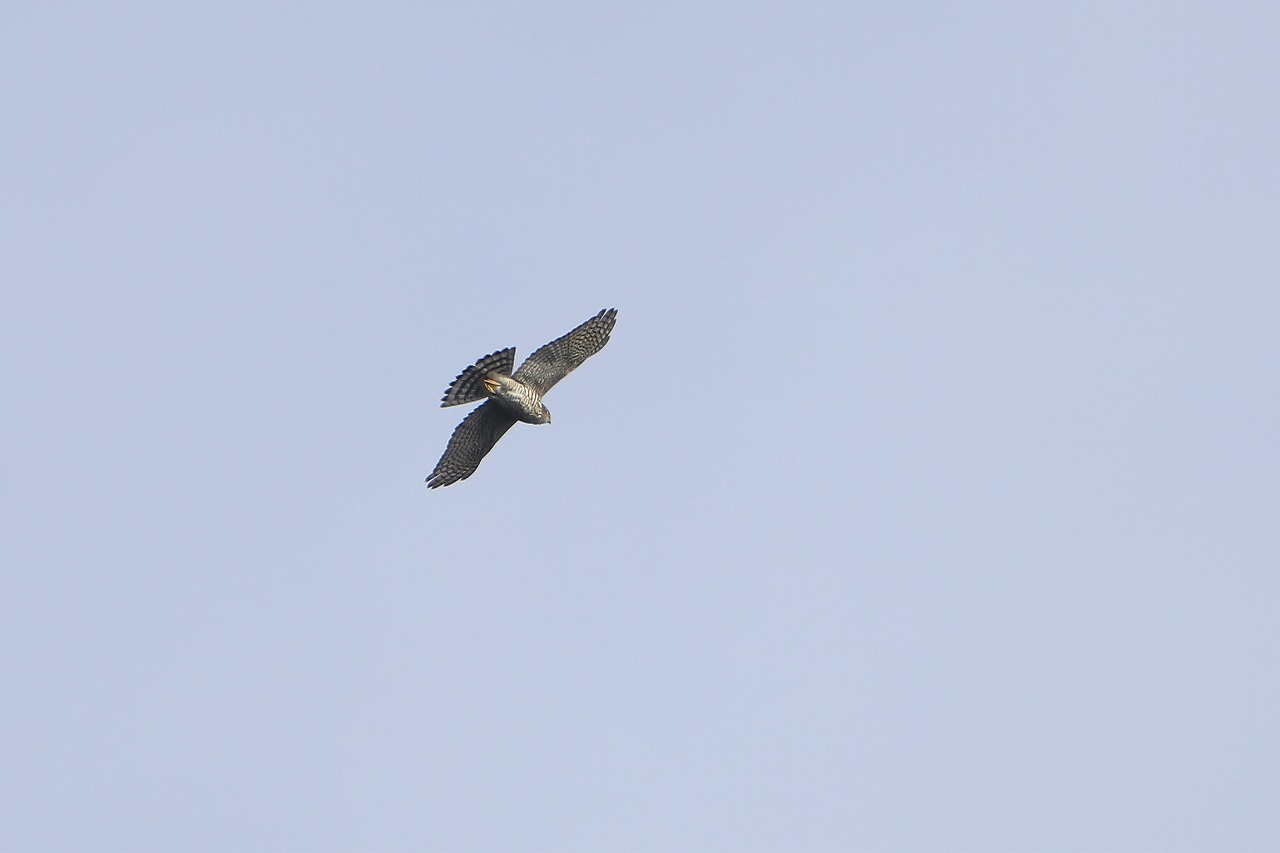 鷹の渡り_f0296999_18180438.jpg