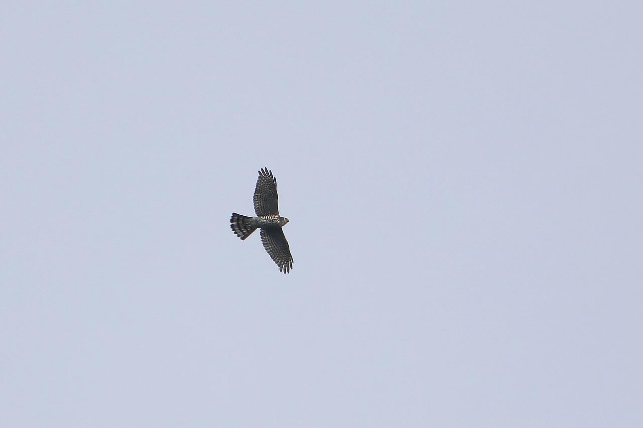 鷹の渡り_f0296999_18181479.jpg
