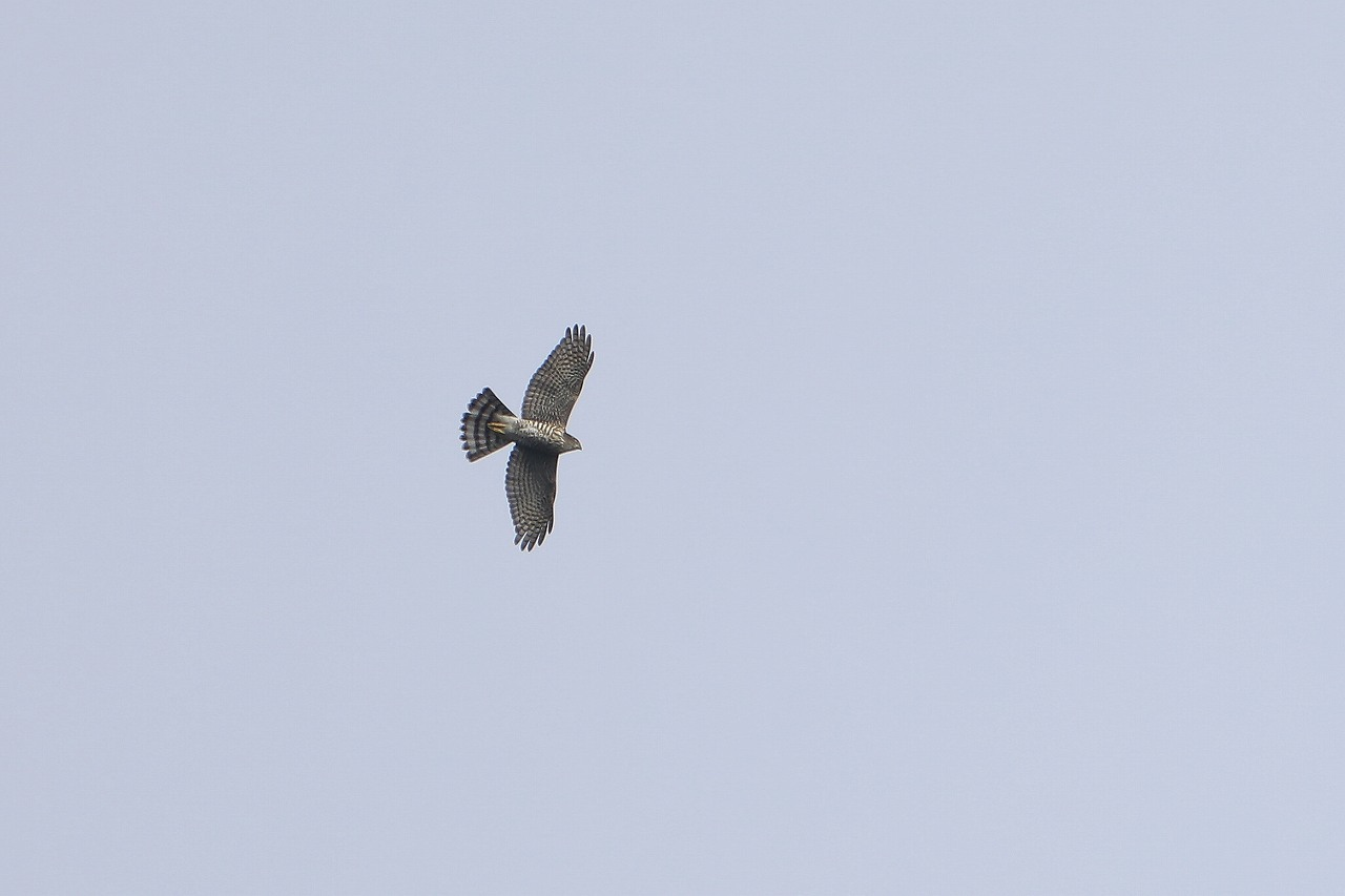 鷹の渡り_f0296999_18181955.jpg