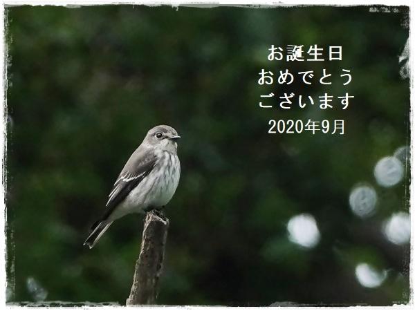 9月生まれの皆様へ バースデーカードを エゾビタキ・コサメビタキ・曼殊沙華・キアゲハ 2020/9/19_d0129921_17300072.jpg