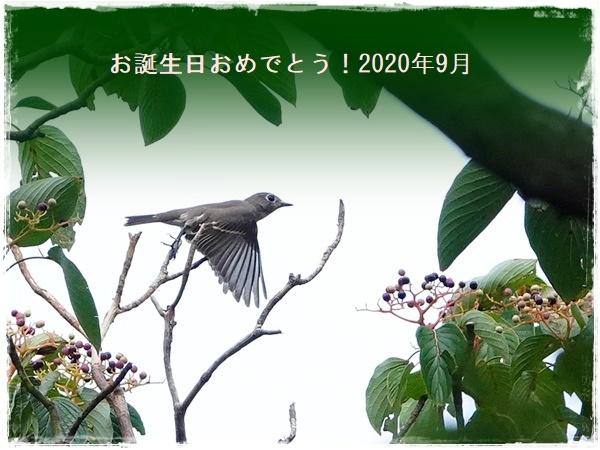 9月生まれの皆様へ バースデーカードを エゾビタキ・コサメビタキ・曼殊沙華・キアゲハ 2020/9/19_d0129921_17300266.jpg