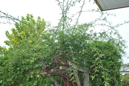 我が庭に「キジバト」の子供_f0274138_08013083.jpg