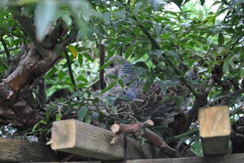 我が庭に「キジバト」の子供_f0274138_08013490.jpg
