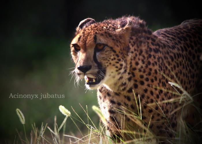 チーター:Cheetah_b0249597_10391811.jpg