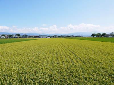 七城米 長尾農園 今年も美しく順調に成長中!稲刈り前の様子!稲刈りは10月10日前後からスタートです!_a0254656_16352879.jpg