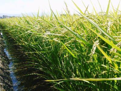 七城米 長尾農園 今年も美しく順調に成長中!稲刈り前の様子!稲刈りは10月10日前後からスタートです!_a0254656_16365038.jpg