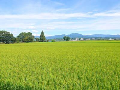 七城米 長尾農園 今年も美しく順調に成長中!稲刈り前の様子!稲刈りは10月10日前後からスタートです!_a0254656_17434471.jpg