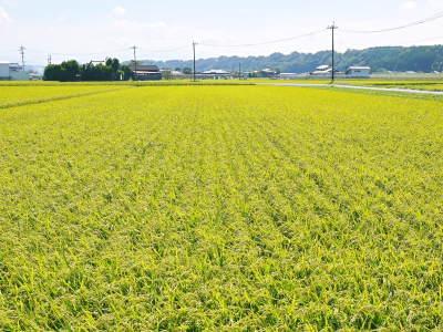 七城米 長尾農園 今年も美しく順調に成長中!稲刈り前の様子!稲刈りは10月10日前後からスタートです!_a0254656_17451343.jpg