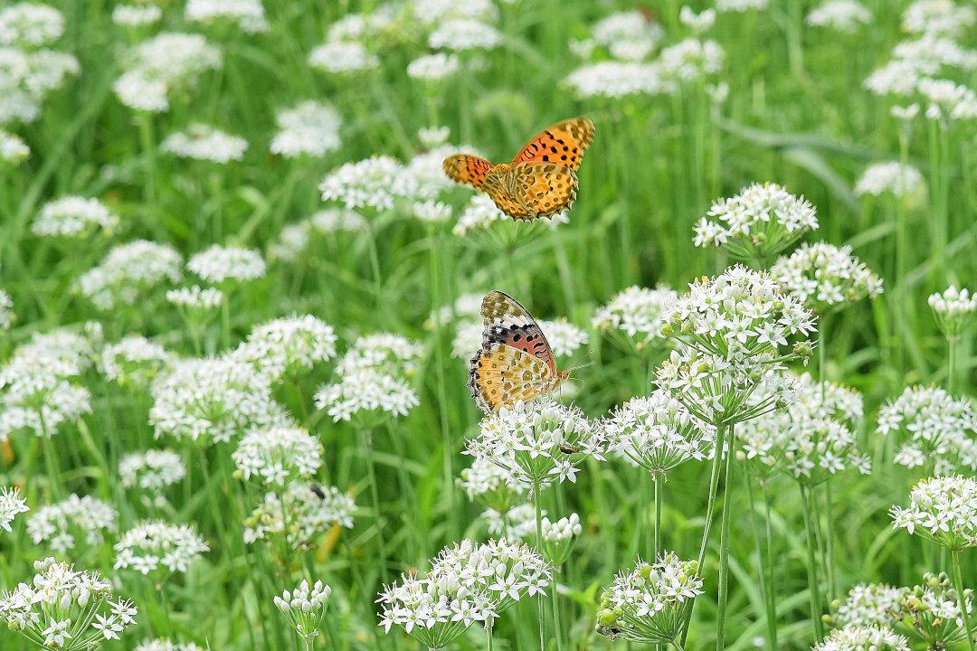 韮の花畑に集う、ツマグロヒョウモン達(2020/09/mid)At various locations_d0387460_19201398.jpg