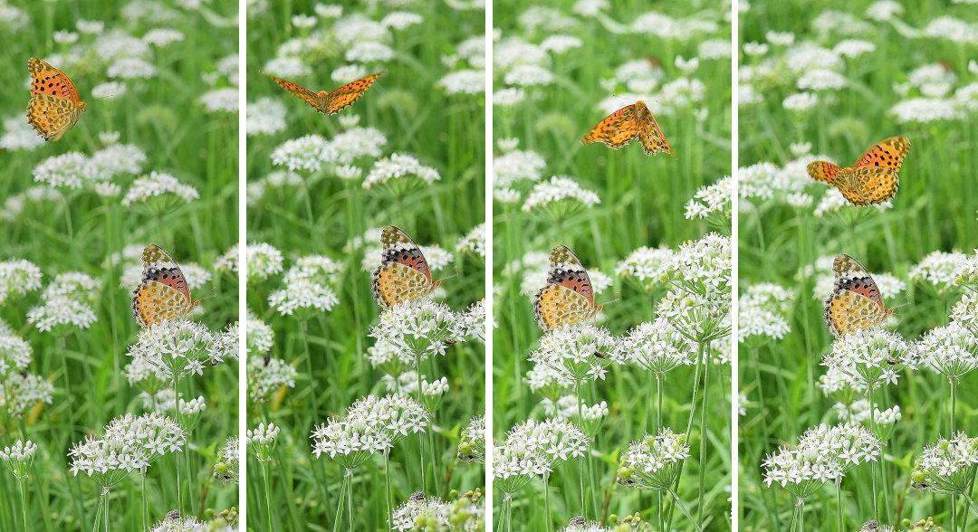 韮の花畑に集う、ツマグロヒョウモン達(2020/09/mid)At various locations_d0387460_19202288.jpg