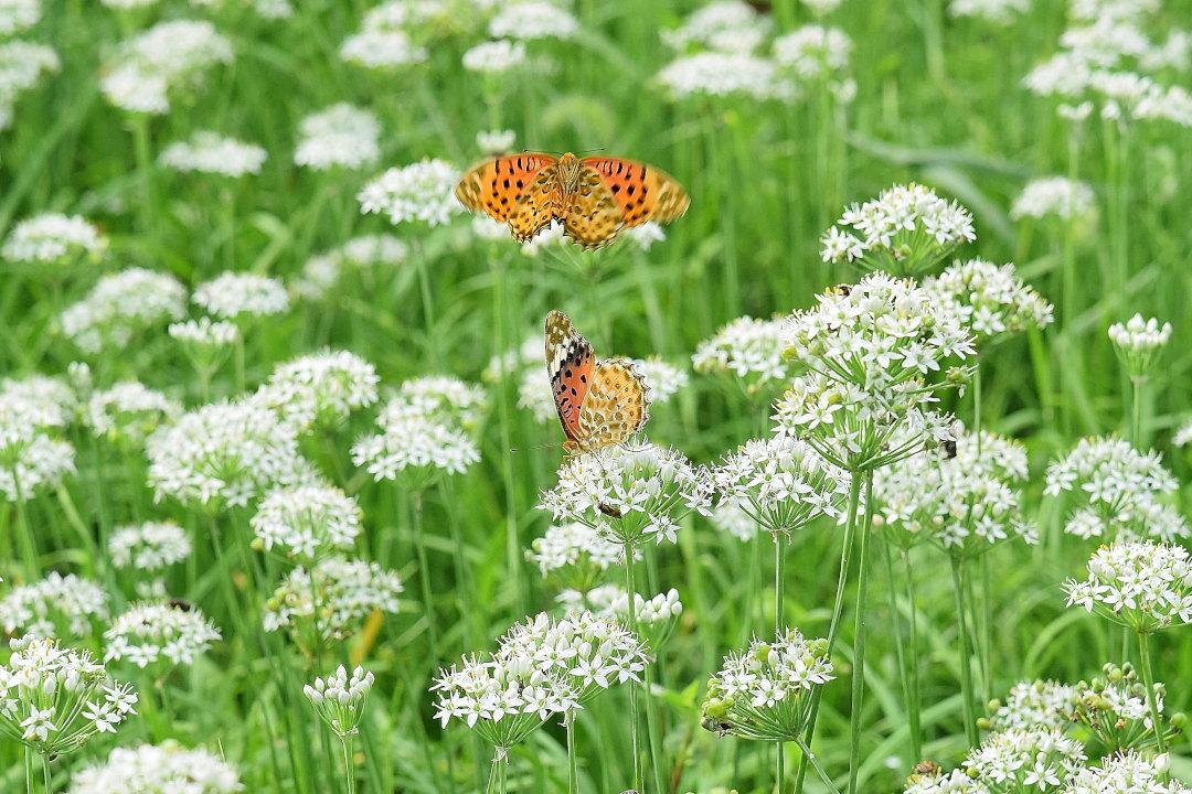 韮の花畑に集う、ツマグロヒョウモン達(2020/09/mid)At various locations_d0387460_19203088.jpg