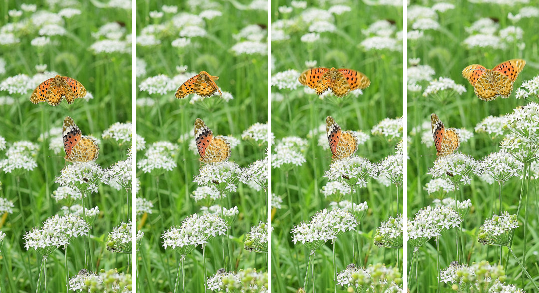 韮の花畑に集う、ツマグロヒョウモン達(2020/09/mid)At various locations_d0387460_19203883.jpg