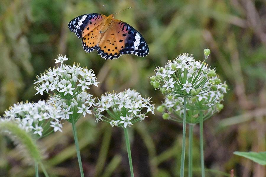 韮の花畑に集う、ツマグロヒョウモン達(2020/09/mid)At various locations_d0387460_19210083.jpg