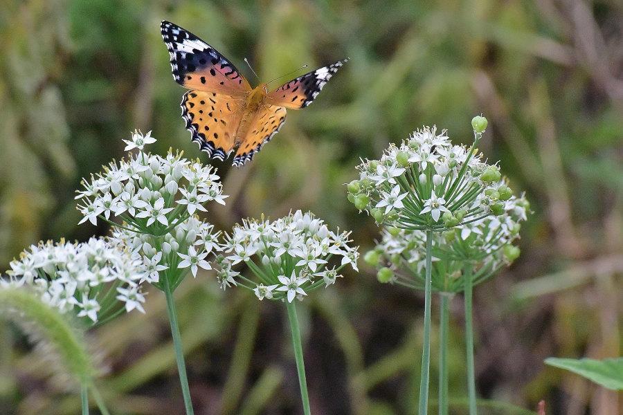 韮の花畑に集う、ツマグロヒョウモン達(2020/09/mid)At various locations_d0387460_19210709.jpg