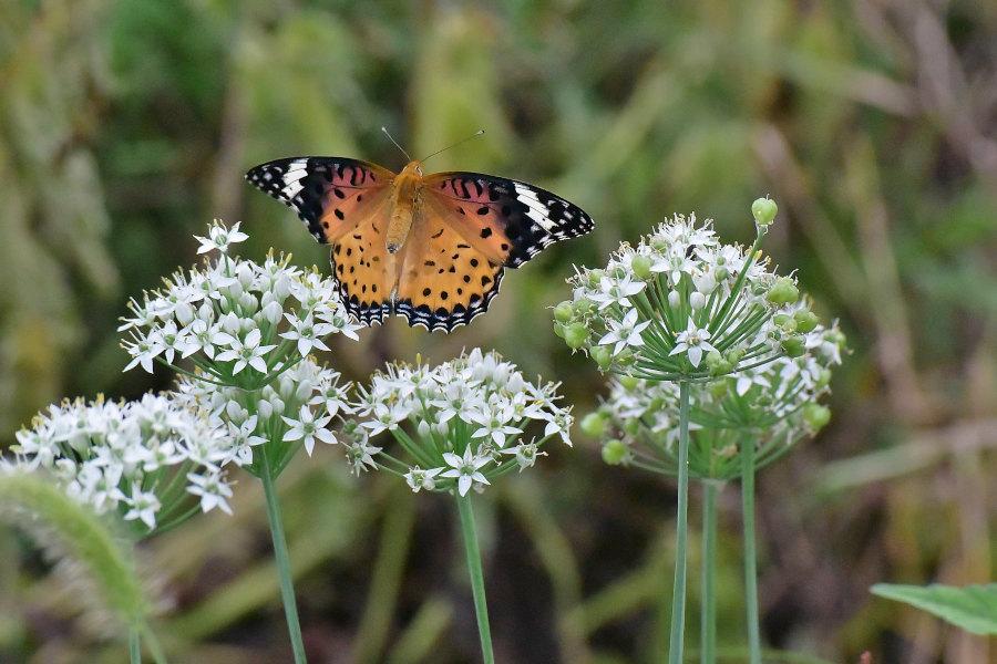 韮の花畑に集う、ツマグロヒョウモン達(2020/09/mid)At various locations_d0387460_19211438.jpg