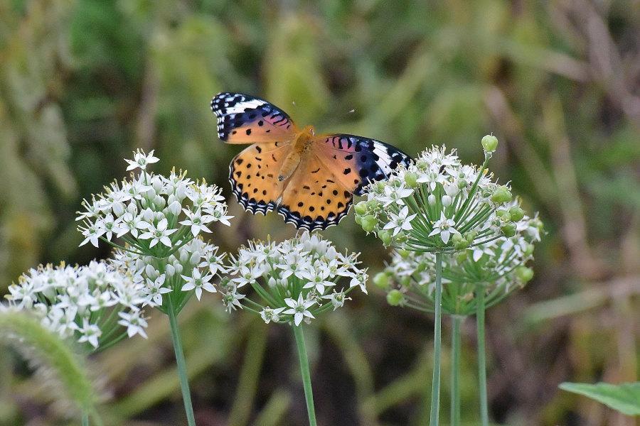 韮の花畑に集う、ツマグロヒョウモン達(2020/09/mid)At various locations_d0387460_19211830.jpg