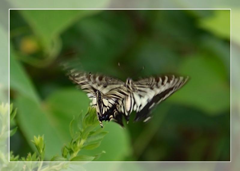 散歩道蝶やイトトンボ、鯉の、いえ恋の季節です!_d0102968_21573815.jpg