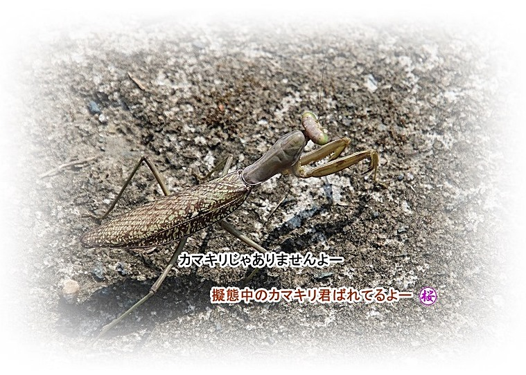 散歩道蝶やイトトンボ、鯉の、いえ恋の季節です!_d0102968_21573818.jpg