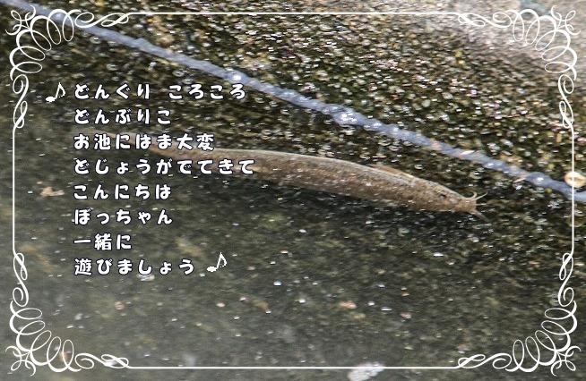 散歩道蝶やイトトンボ、鯉の、いえ恋の季節です!_d0102968_21573859.jpg