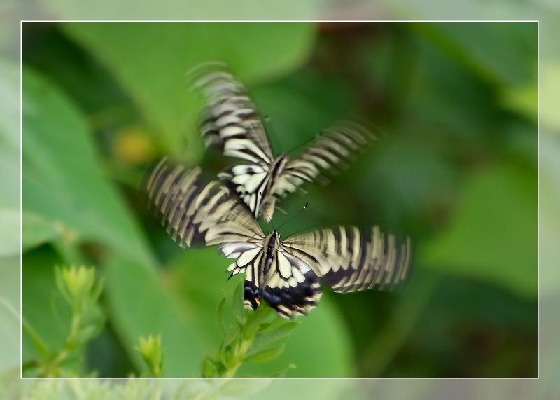散歩道蝶やイトトンボ、鯉の、いえ恋の季節です!_d0102968_21573888.jpg