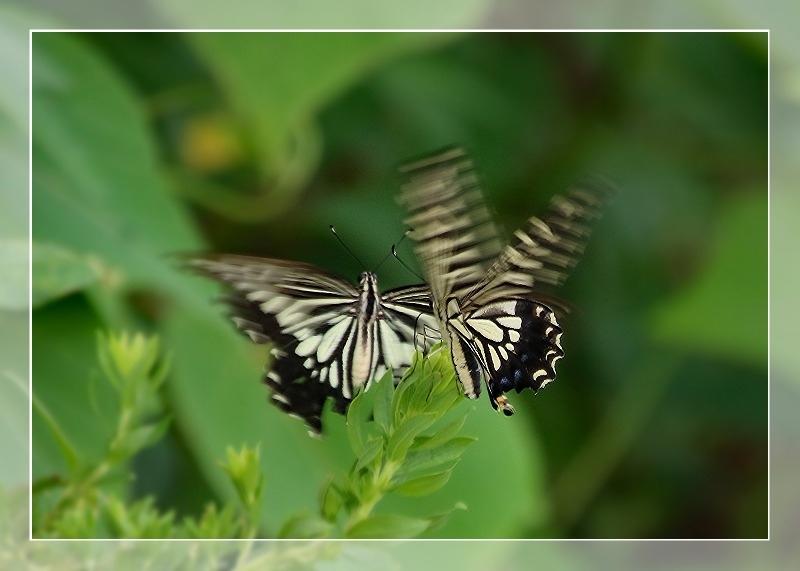 散歩道蝶やイトトンボ、鯉の、いえ恋の季節です!_d0102968_21573895.jpg