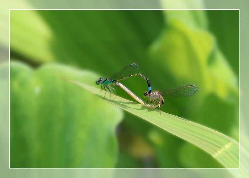 散歩道蝶やイトトンボ、鯉の、いえ恋の季節です!_d0102968_21573940.jpg
