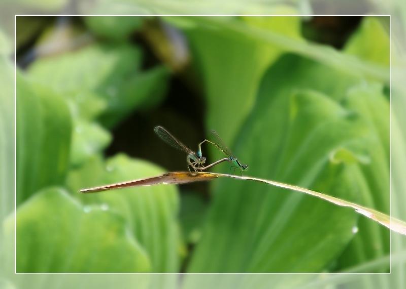 散歩道蝶やイトトンボ、鯉の、いえ恋の季節です!_d0102968_21573969.jpg
