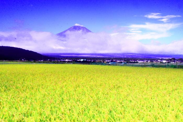 令和2年9月の富士(5) 忍野の田園の富士_e0344396_16371422.jpg