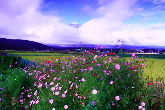 令和2年9月の富士(5) 忍野の田園の富士_e0344396_16371434.jpg