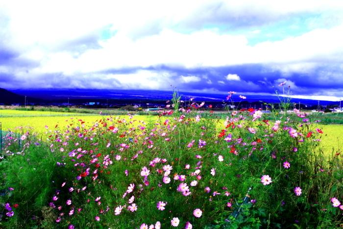 令和2年9月の富士(5) 忍野の田園の富士_e0344396_16371475.jpg