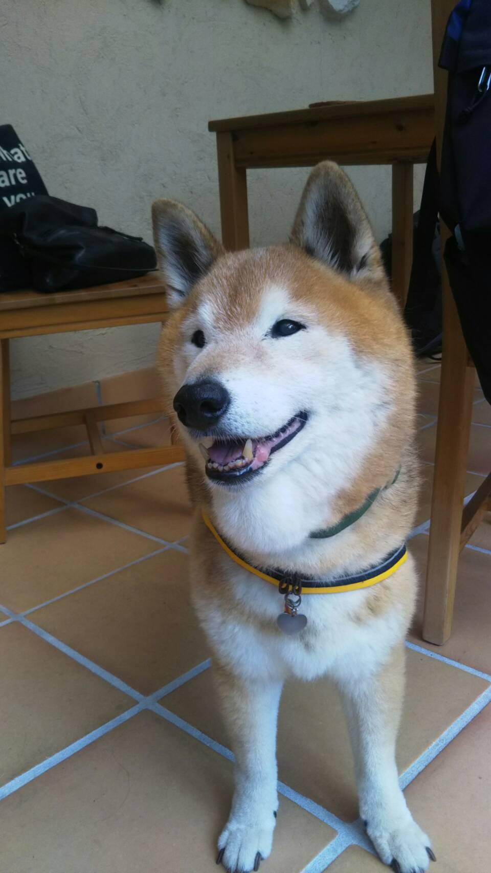 山で楽しそうな柴犬_c0221299_18332085.jpg
