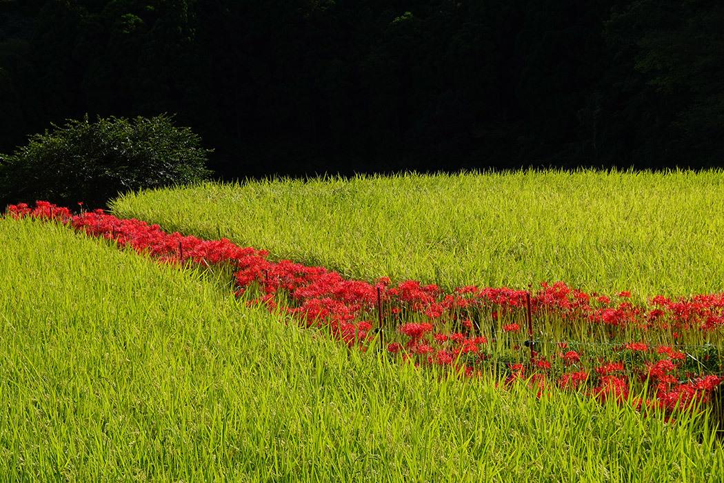 「夕暮れの彼岸花」ー小城市江里山棚田にてー_c0014538_14325326.jpg