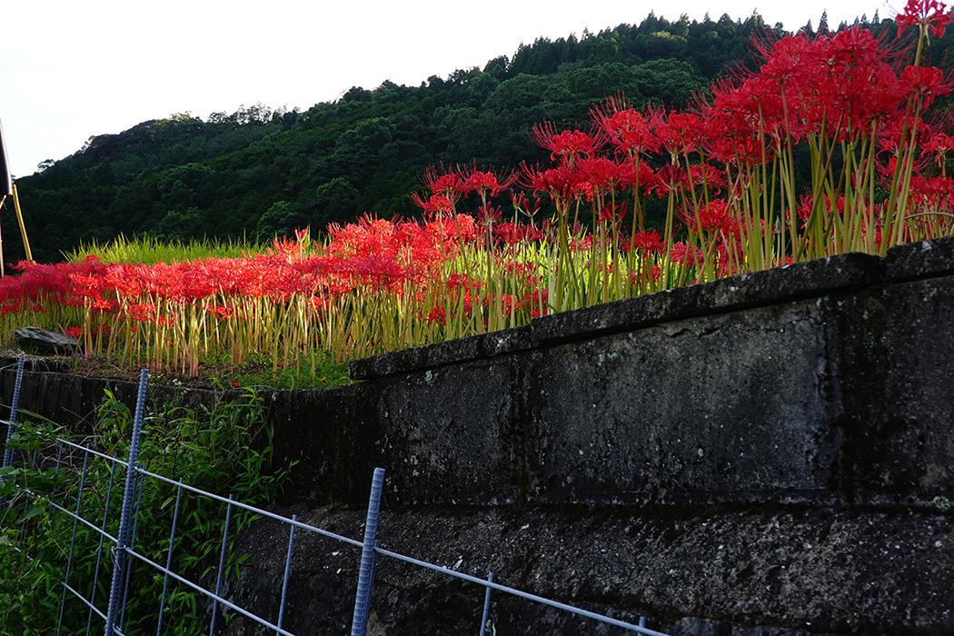 「夕暮れの彼岸花」ー小城市江里山棚田にてー_c0014538_14330897.jpg