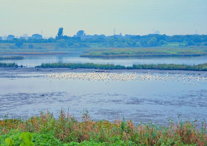 美しき湿原があやしくなったコサギ等の色々_d0290240_16143026.jpg