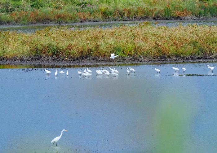 美しき湿原があやしくなったコサギ等の色々_d0290240_16143287.jpg