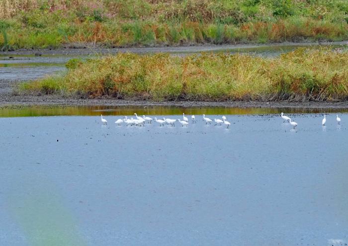 美しき湿原があやしくなったコサギ等の色々_d0290240_16143342.jpg