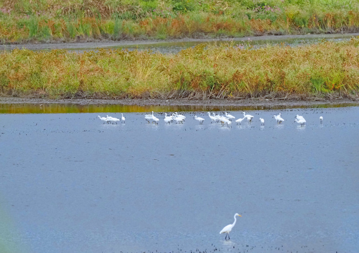 美しき湿原があやしくなったコサギ等の色々_d0290240_16143375.jpg
