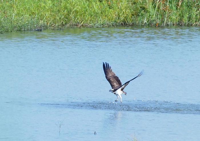 美しき湿原にミサゴがやって来た Ⅲ_d0290240_16560000.jpg
