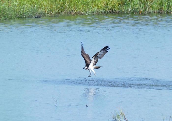 美しき湿原にミサゴがやって来た Ⅲ_d0290240_16560023.jpg