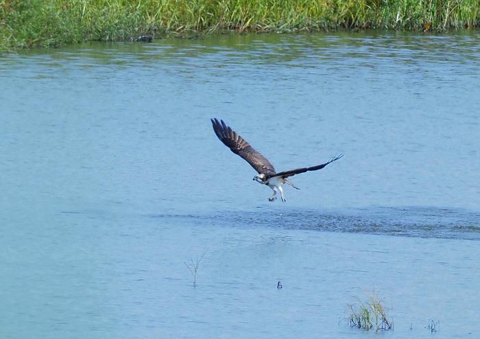 美しき湿原にミサゴがやって来た Ⅲ_d0290240_16560131.jpg