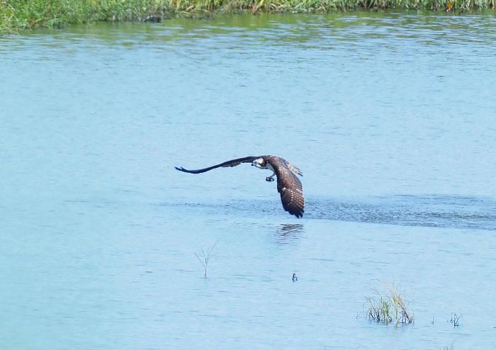 美しき湿原にミサゴがやって来た Ⅲ_d0290240_16560163.jpg