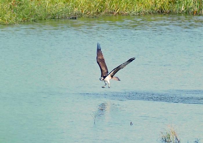 美しき湿原にミサゴがやって来た Ⅲ_d0290240_16560204.jpg