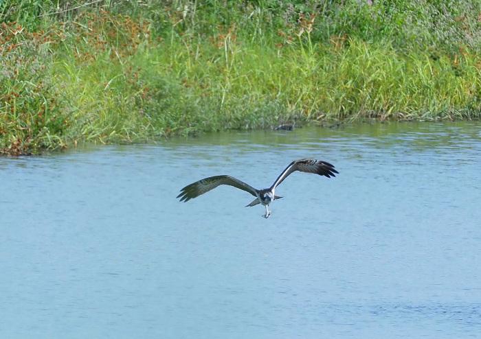 美しき湿原にミサゴがやって来た Ⅲ_d0290240_16560319.jpg