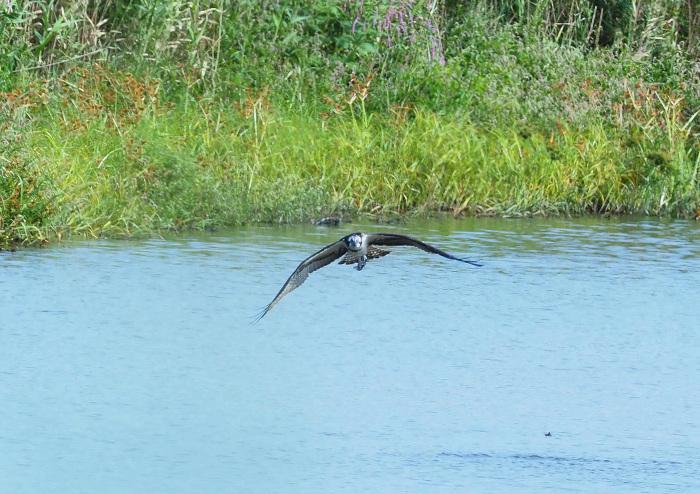 美しき湿原にミサゴがやって来た Ⅲ_d0290240_16560332.jpg