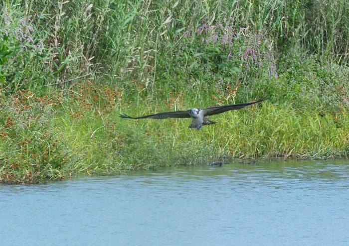 美しき湿原にミサゴがやって来た Ⅲ_d0290240_16560451.jpg